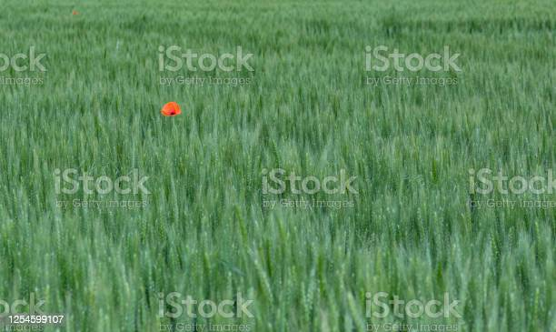 Field of bright red poppies and wheat on a sunny daypoppy flowers picture id1254599107?b=1&k=6&m=1254599107&s=612x612&h=xjaxygouuqfn2quprijvue3rtengm2bnngvftooai2a=