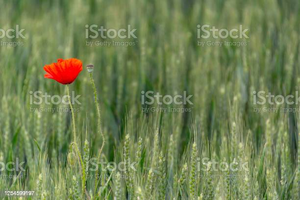 Field of bright red poppies and wheat on a sunny daypoppy flowers picture id1254599197?b=1&k=6&m=1254599197&s=612x612&h= i4jpghsg dfoabxaqdwpk1o9jpvmhkspswthjybwpw=