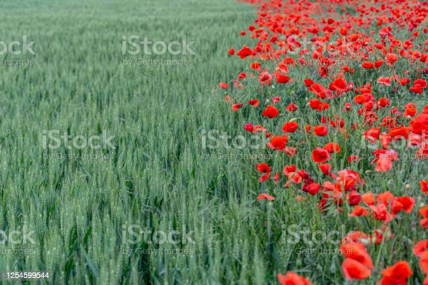 Field of bright red poppies and wheat on a sunny daypoppy flowers picture id1254599544?b=1&k=6&m=1254599544&s=612x612&h=feznngrzwsrm92bu4bvphnrsga9hma n 4ix4rlehxa=