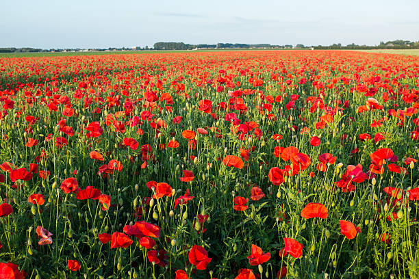 Field of bright red poppies in summer stock photo