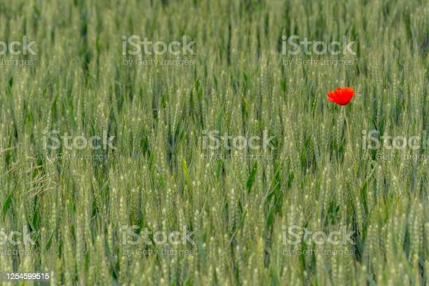 Field of bright single red poppy and wheat picture id1254599515?b=1&k=6&m=1254599515&s=612x612&h=pfcxjjmukjanr8dh5jwaivpnis8jdwyasajfpy9jwtm=