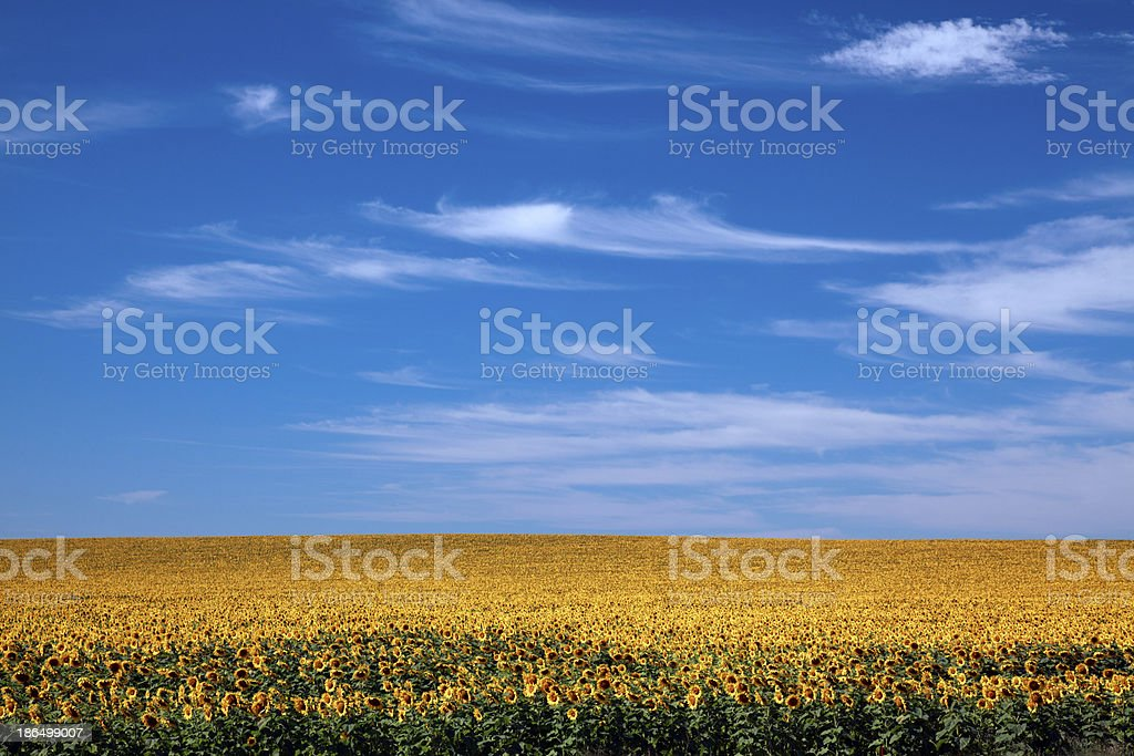 Field of Bright Sunflowers Horizontal royalty-free stock photo
