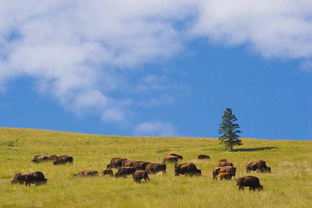 Buffalo, National Bison-Gebirge – Foto