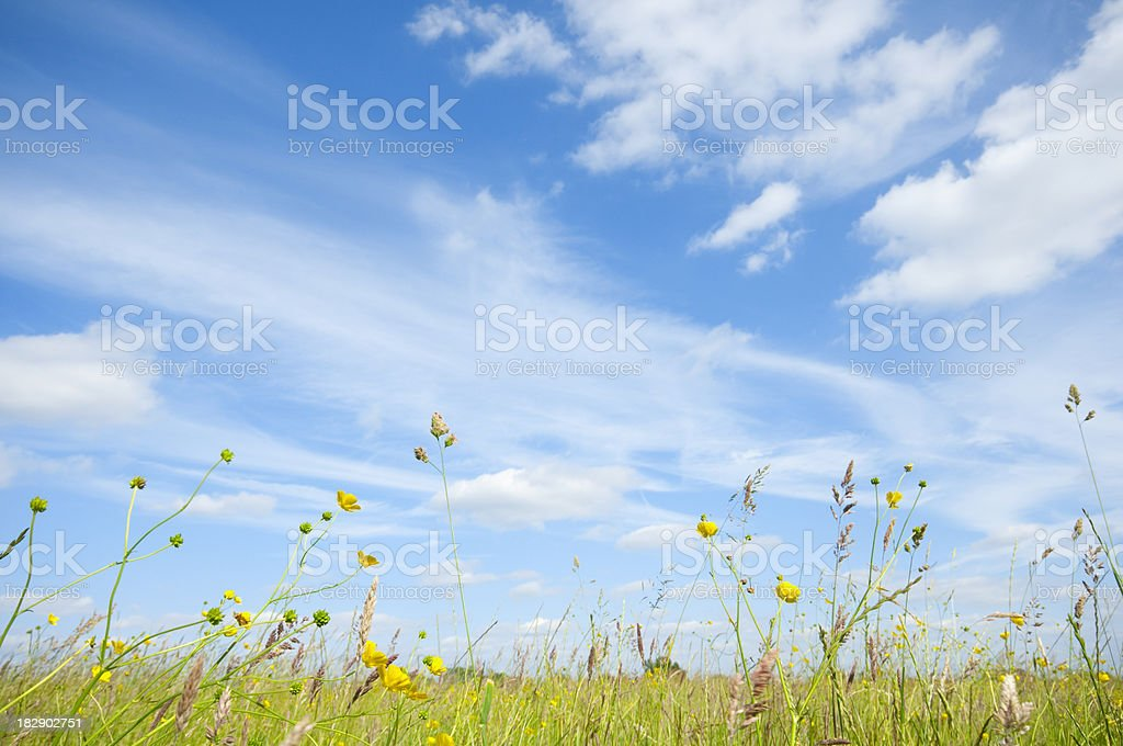 Field of buttercups and clover under blue summer sky royalty-free stock photo