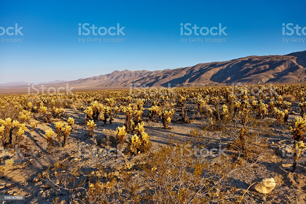 Field of Cacti in Joshua Tree National Park stock photo