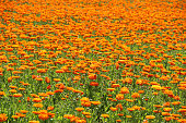 Blooming field of Calendula officinalis in the summer