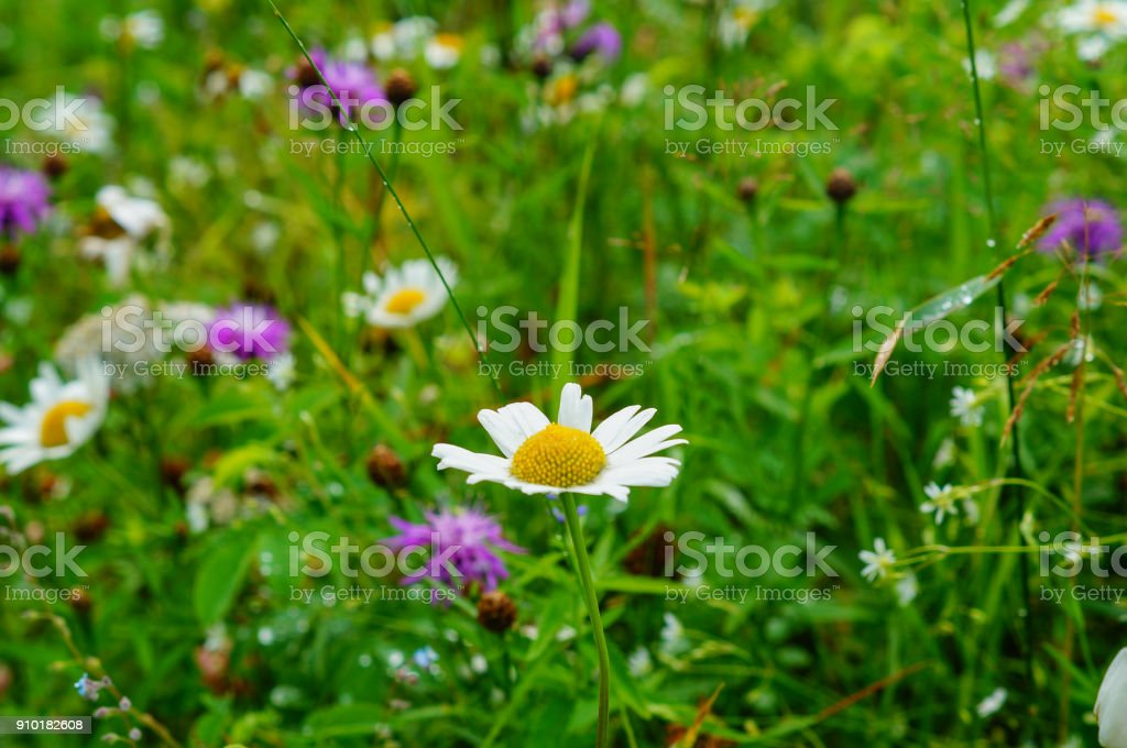 Field of camomile flowers stock photo
