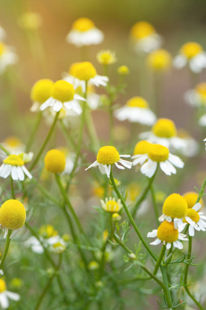 Field of chamomile flowers. Close up. stock photo