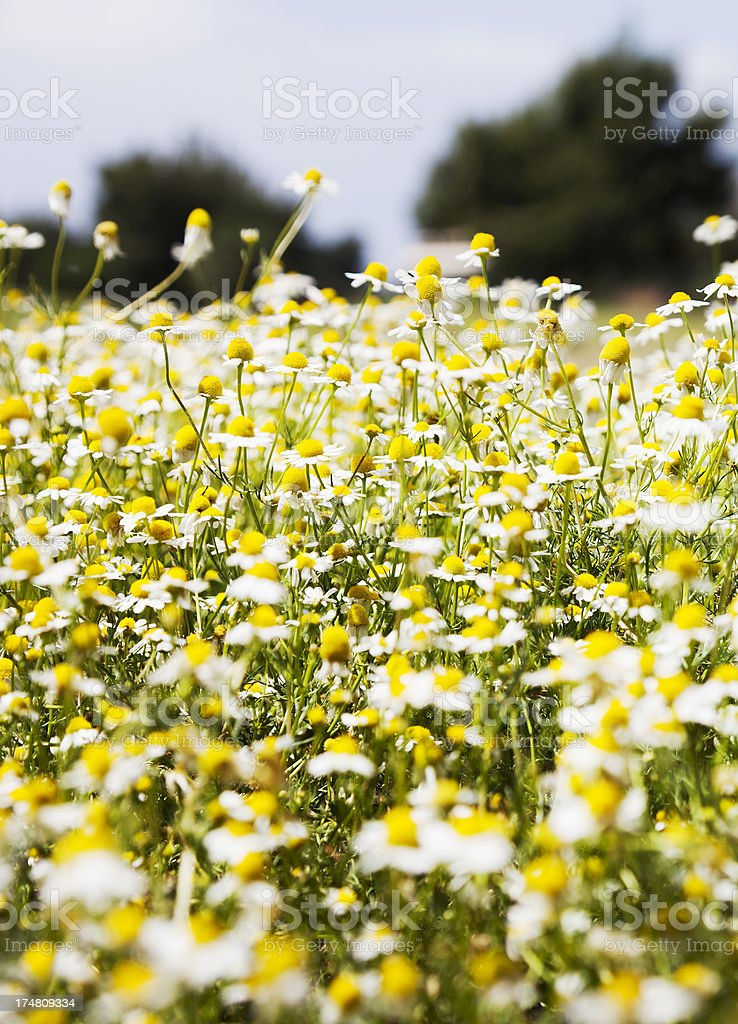 Field of Chamomile Flowers royalty-free stock photo
