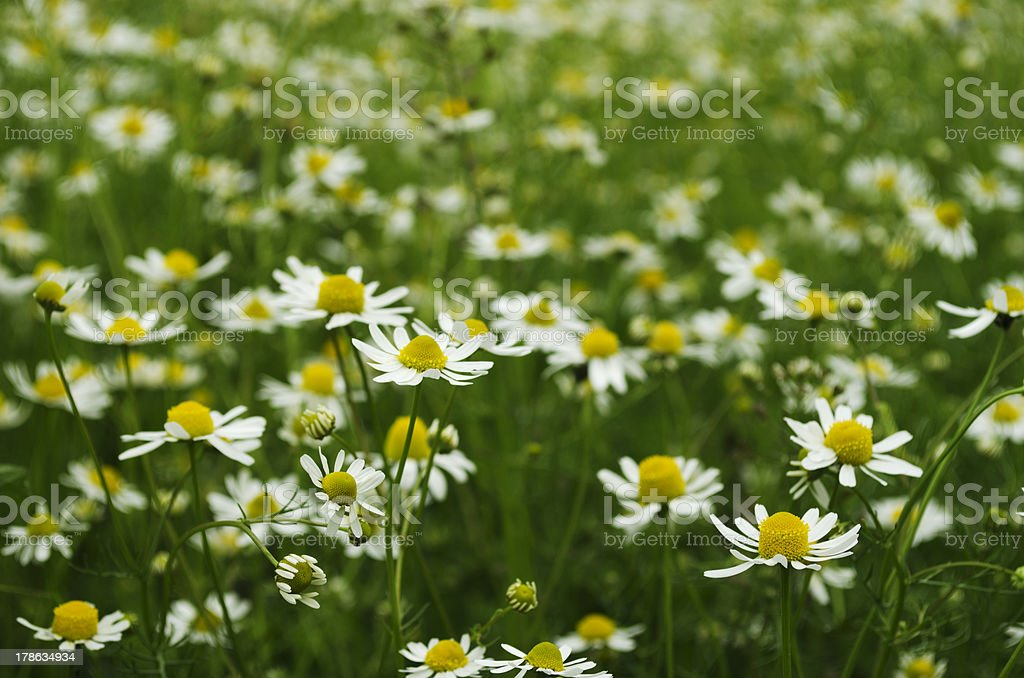 Field of chamomile royalty-free stock photo