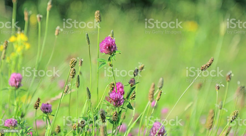 field of clover stock photo