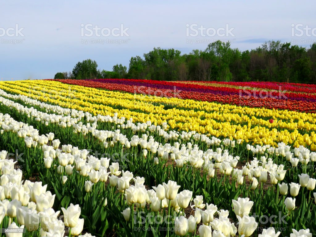 Field of colorful tulips on a hill with woods in the background royalty-free stock photo