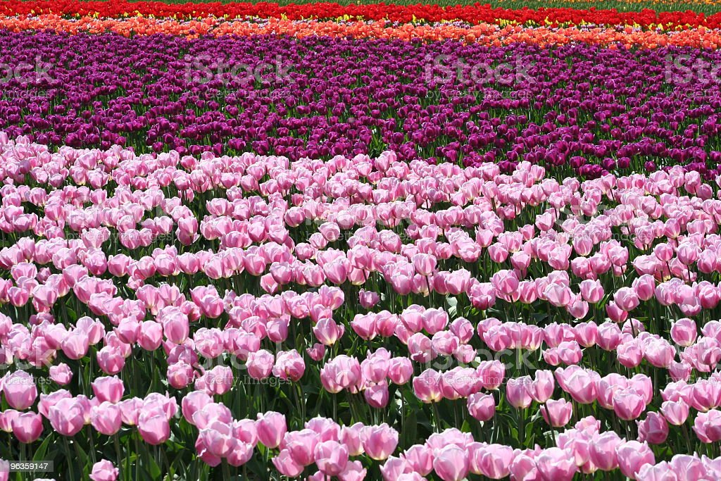 field of colorful tulips royalty-free stock photo