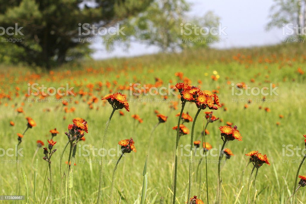 Field of Colourful Wildflowers royalty-free stock photo
