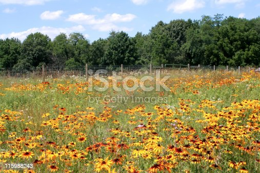 Yellow cone flowers in a field.