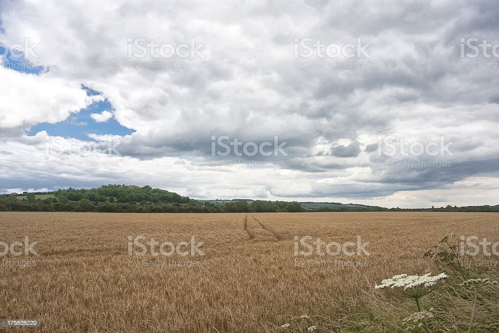 Field of corn royalty-free stock photo