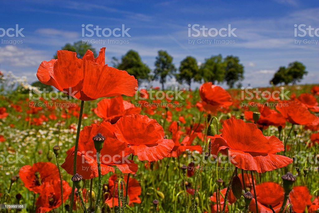 field of corn poppy royalty-free stock photo