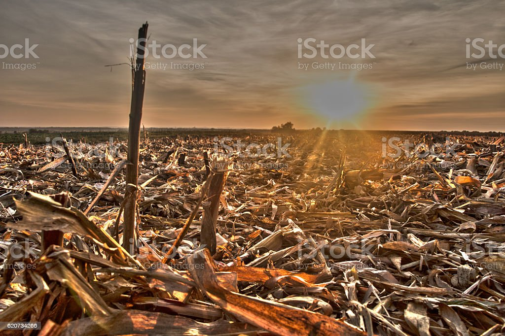 Field of corn stubble at sunset stock photo