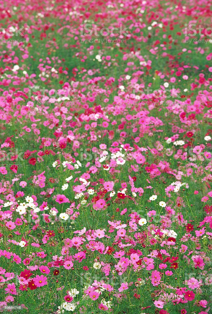 Field of Cosmos Flower royalty-free stock photo