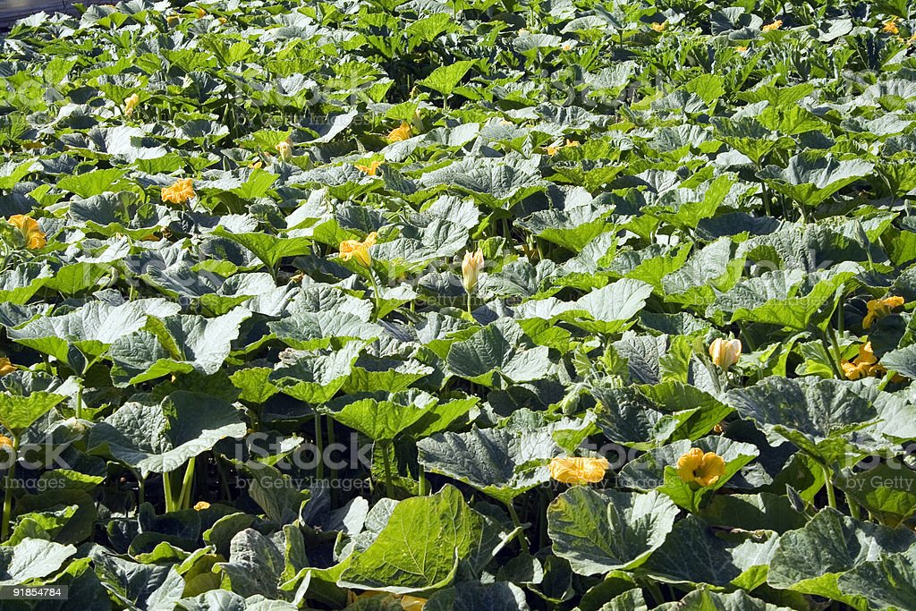 Field of courgette plants in flower royalty-free stock photo