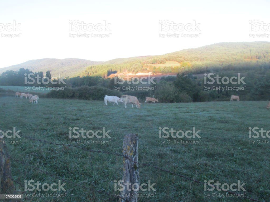 Field of cows at sunrise stock photo