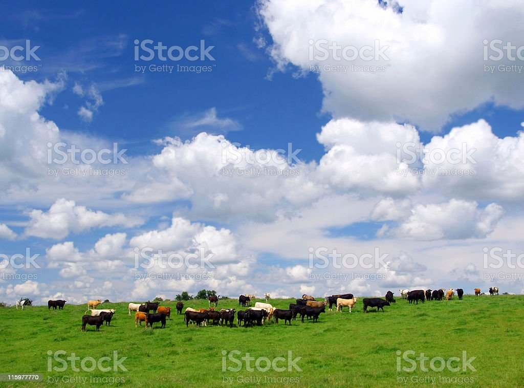 Field of cows royalty-free stock photo