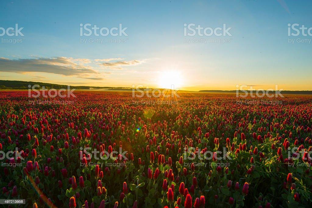 Field of crimson clover at sunrise stock photo