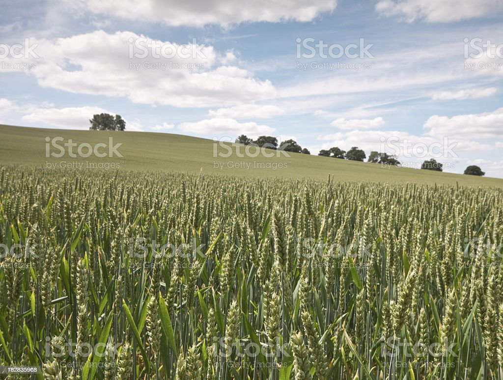 Field of Crops royalty-free stock photo