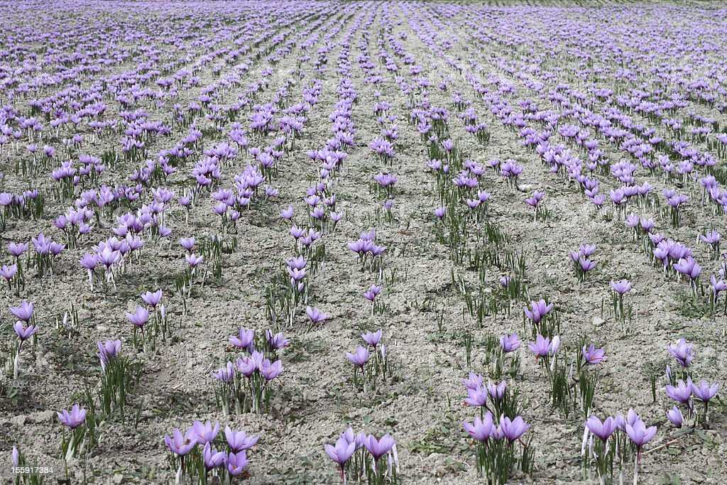 Field of cultivated pink saffron flowers stock photo
