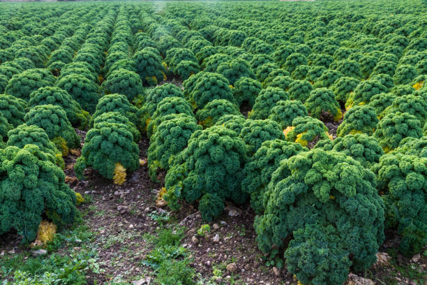 Field of curly kale cultivated in rows - foto stock