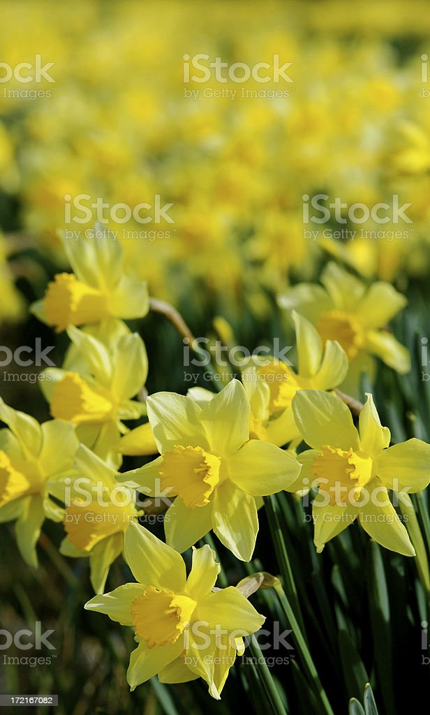 Field of Daffodils royalty-free stock photo