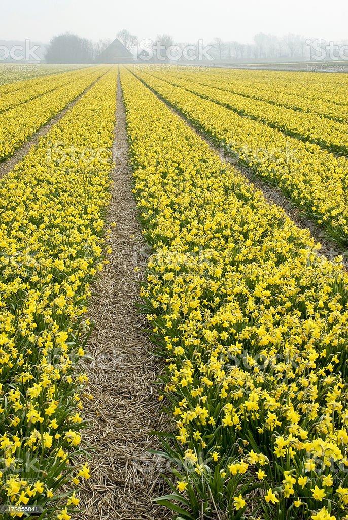Campo de Daffodils foto de stock libre de derechos