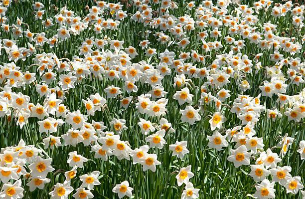 Campo de Daffodils - foto de stock