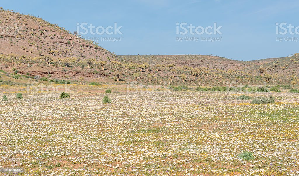 Field of daisies and the Quiver Tree Forest at Gannabos stock photo
