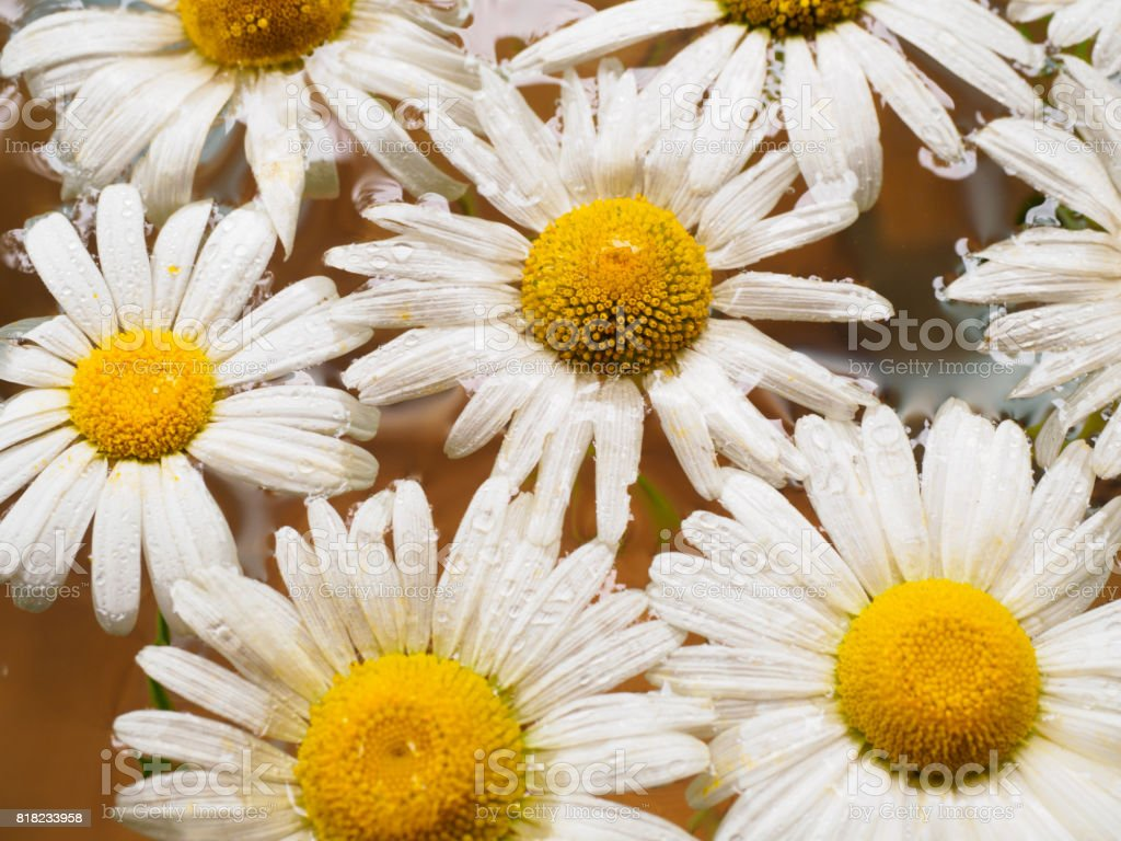 Field of daisies floating in the water chamomile with drops of water field of daisies floating in the water chamomile with drops of water flowers with izmirmasajfo Image collections
