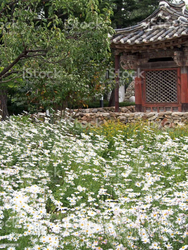 Field of Daisies in front of Traditional Korean Home stock photo