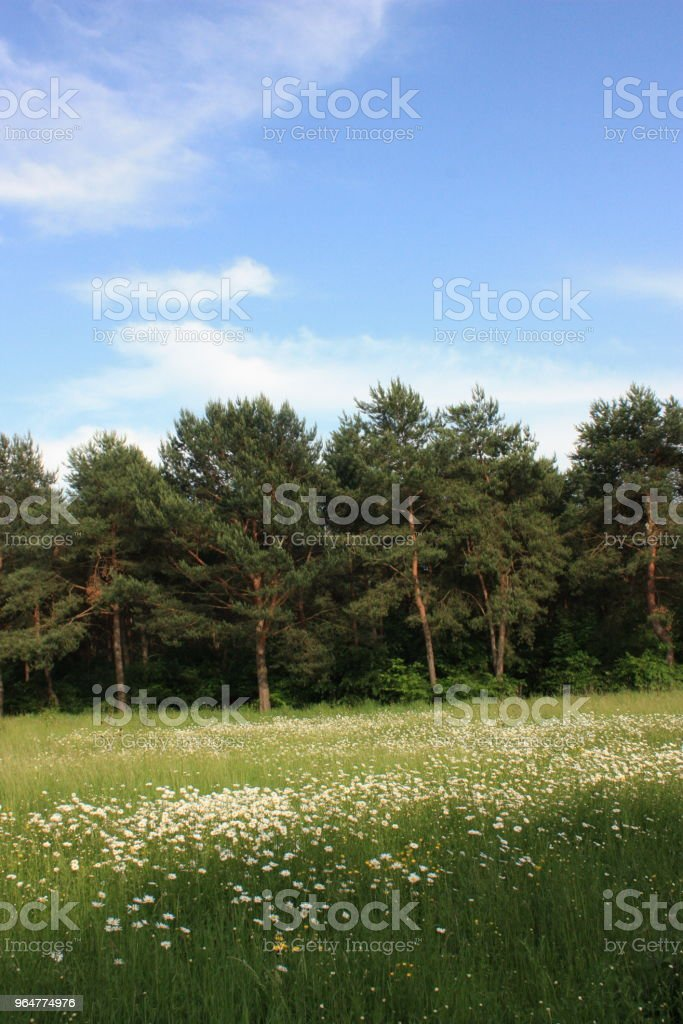 Field of daisies in île-de-France royalty-free stock photo