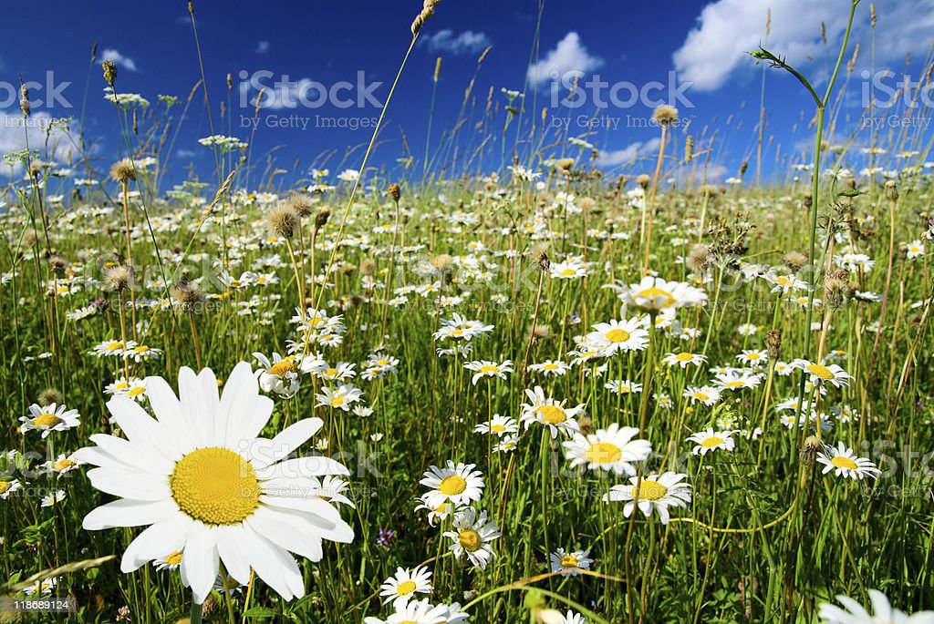 field of daisies royalty-free stock photo