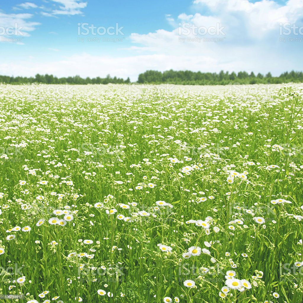 Field of daisies. royalty-free stock photo
