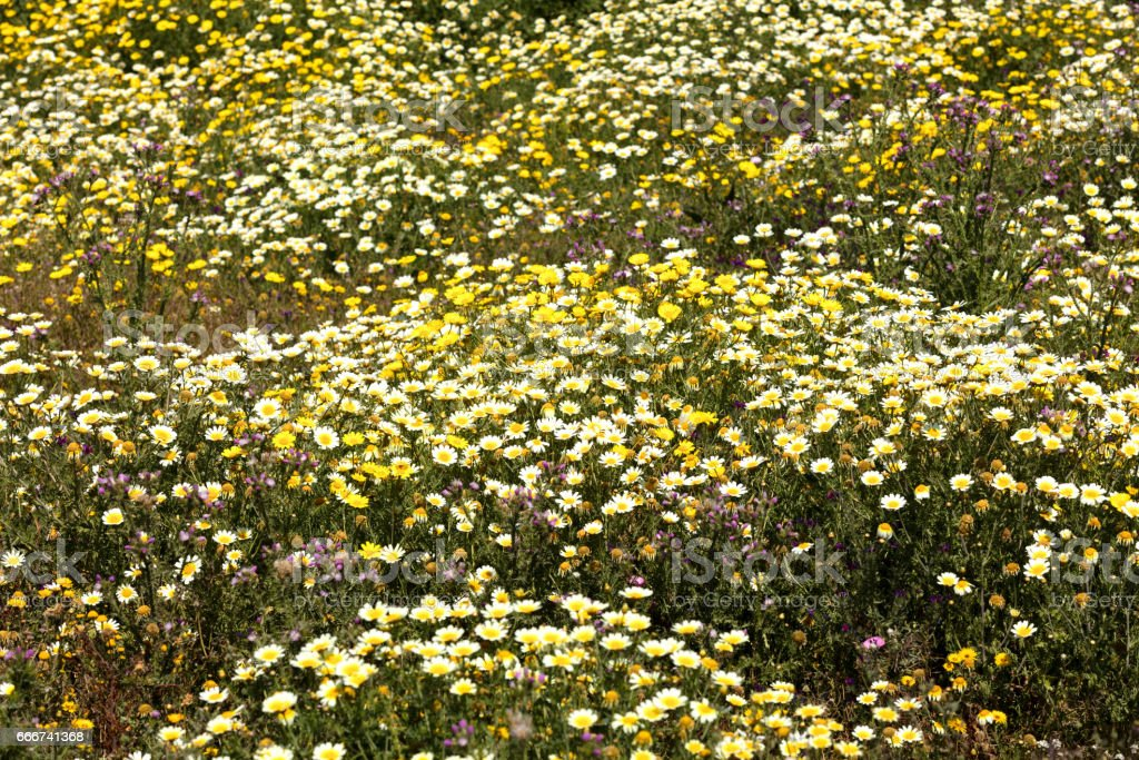 field of daisies foto stock royalty-free