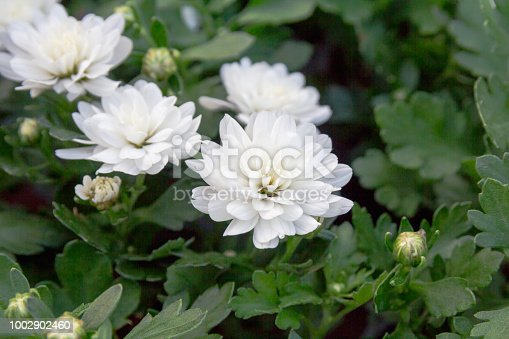 istock Field of daisies. white flowers background. Macro view of daisy. Daisies in bloom. 1002902460