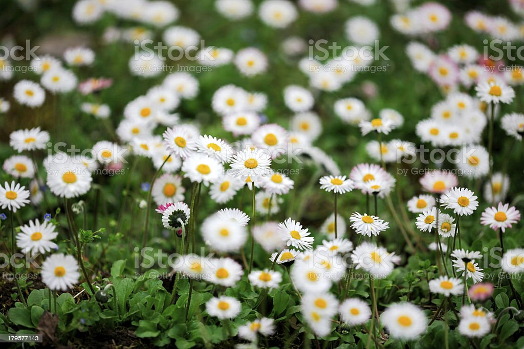 Field of daisy flowers - Camomiles royalty-free stock photo