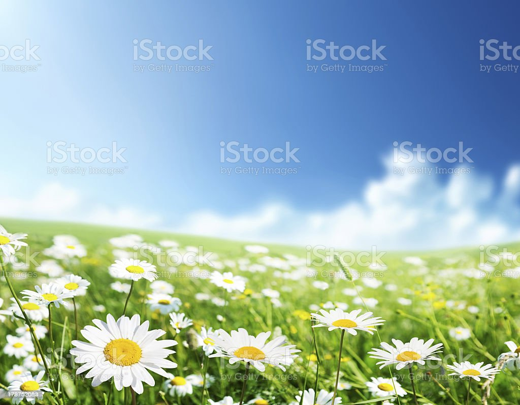 Field Of Daisy Flowers Stock Photo More Pictures Of Beauty In