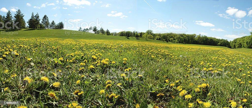 field of dandelion royalty-free stock photo