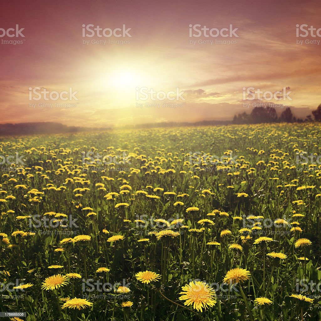 Field of dandelions at sunset. royalty-free stock photo