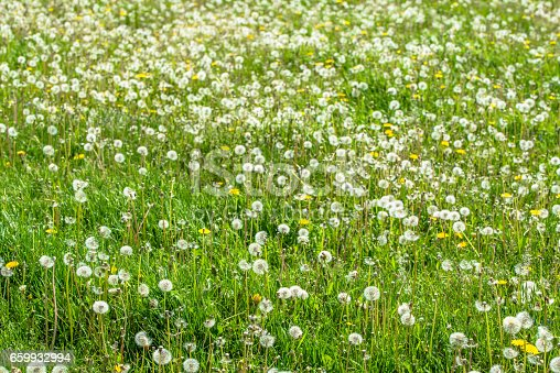Field of dandelions in spring green grass. Many seeds of blowballs.