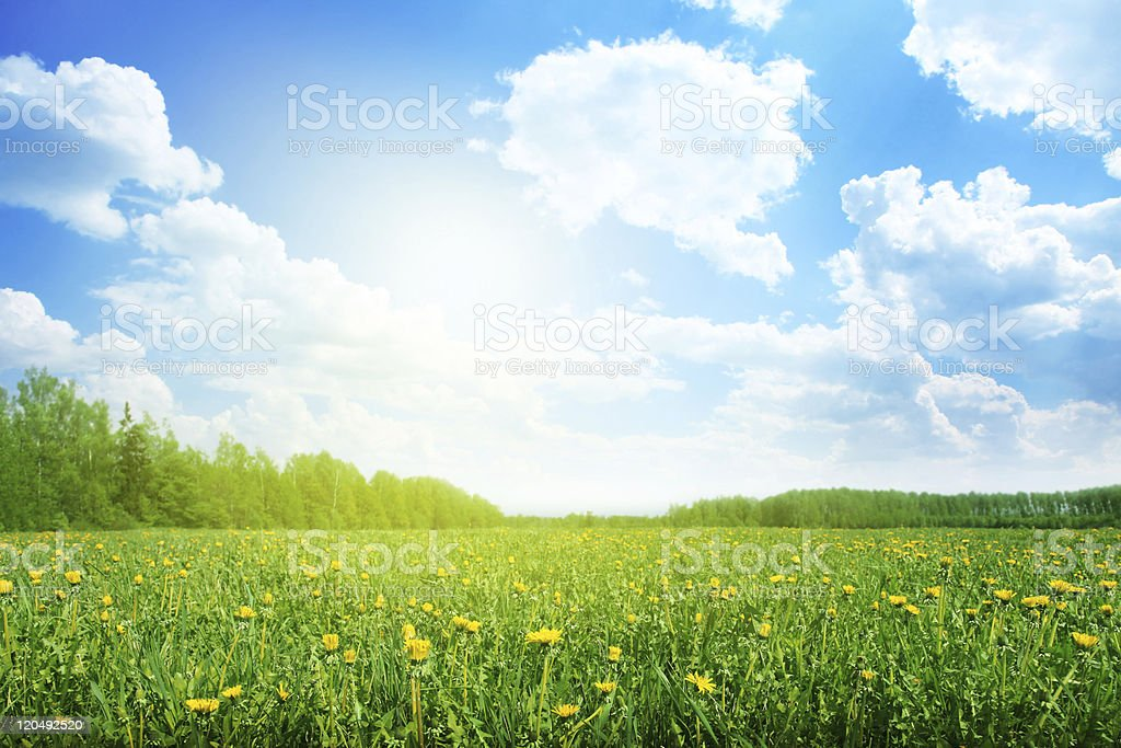 Field of dandelions on sunny day. stock photo