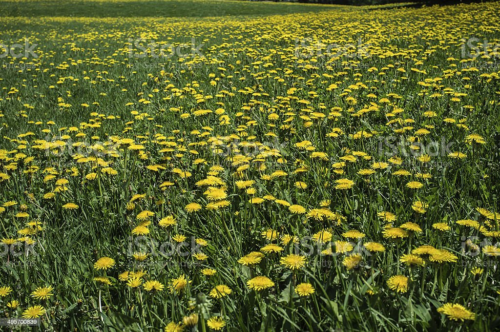 Field of dandelions stock photo