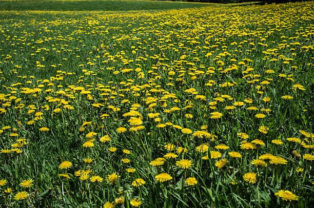 Field of dandelions stock photo