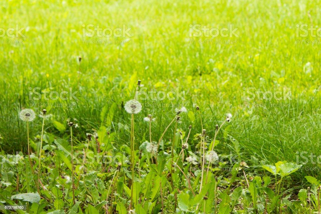 Field of Dandelions photo libre de droits